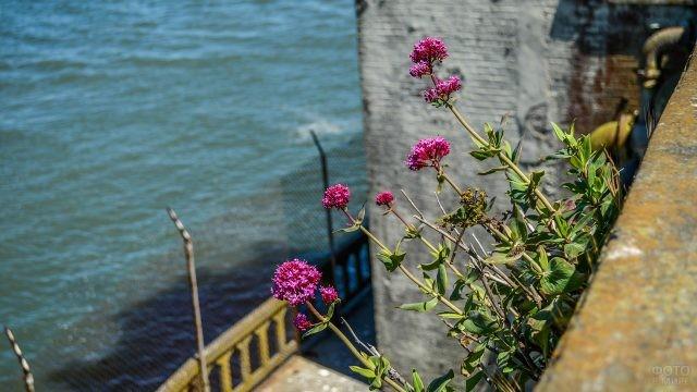 Малиновые цветы на руинах тюрьмы над морем