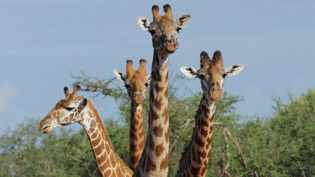 Четыре жирафа смотрят в кадр