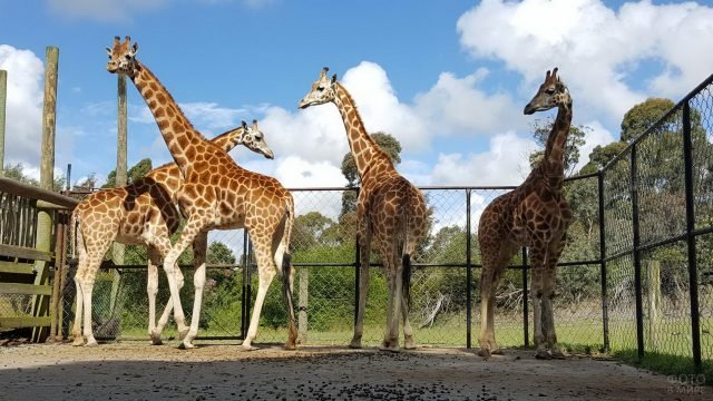 Четыре жирафа стоят за ограждением