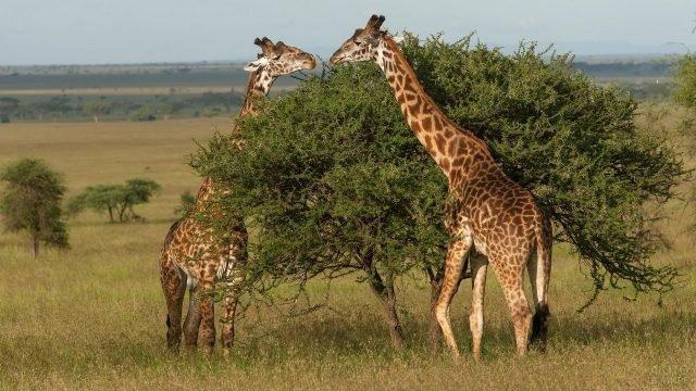 Два жирафа лакомятся листвой