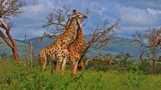Два жирафа нежатся на природе