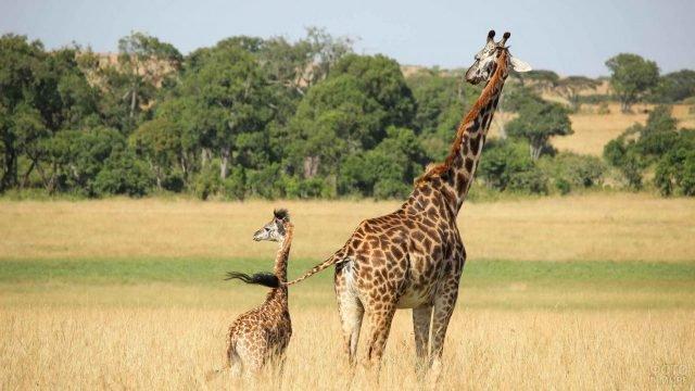 Мама-жираф гуляет со своим детёнышем