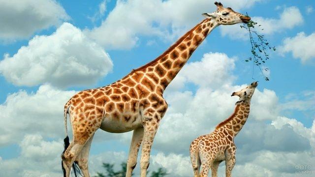 Мама-жираф кормит своего детёныша