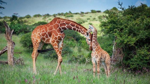 Мама-жираф прижала голову к жирафёнку