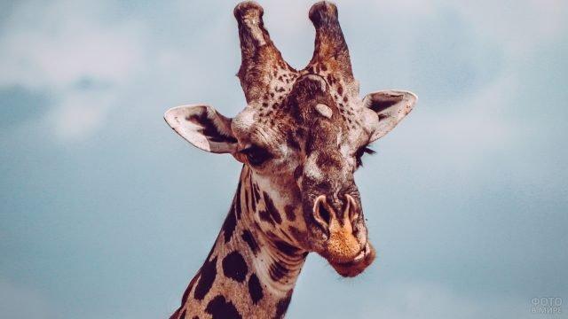 Мордочка жирафика на фоне неба