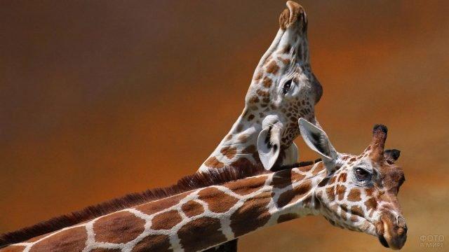 Один жираф запрокинул голову на другого