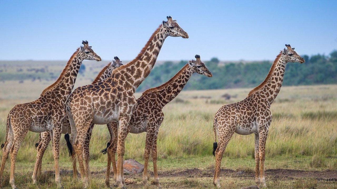 Пять жирафов гуляют вместе