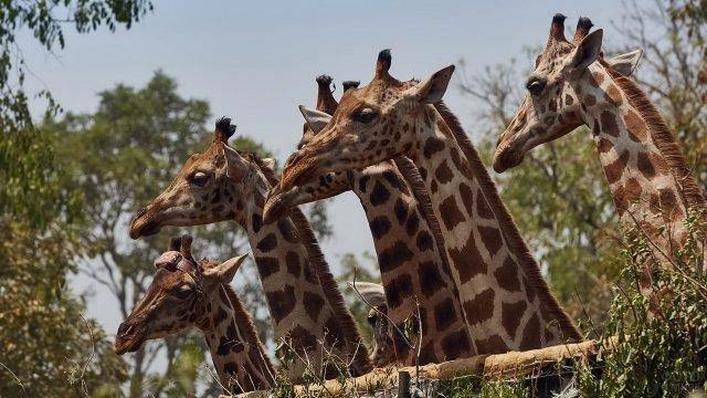 Пять жирафов стоят за ограждением
