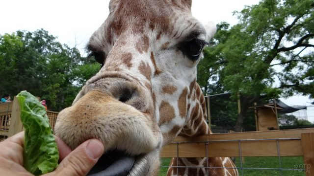 Посетители зоопарка кормят жирафа