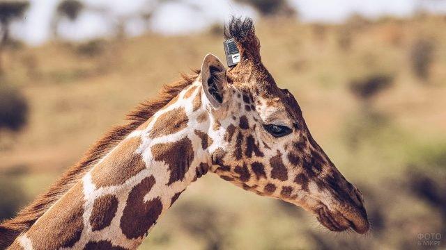 Профиль жирафа крупным планом