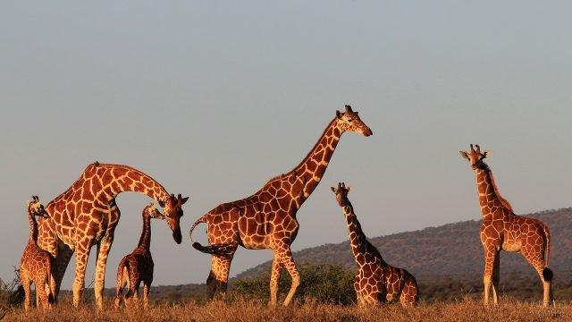 Семья жирафов гуляет в саванне