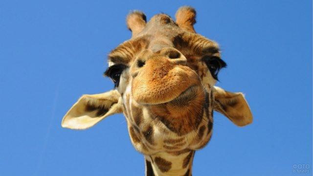 Смешная мордочка жирафа на фоне неба
