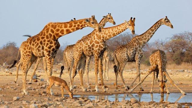 Стадо жирафов на водопое