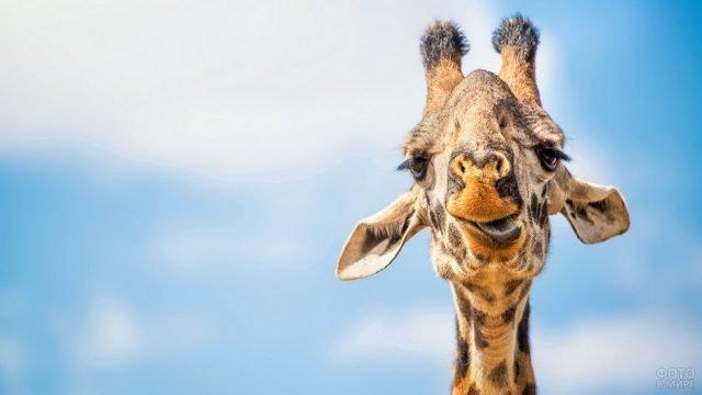 Забавная морда жирафа на фоне неба