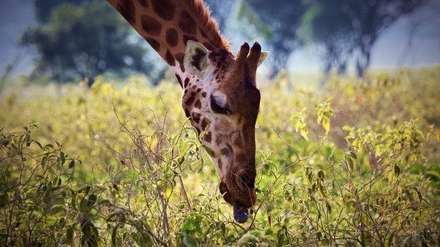 Жираф ест листву с кустарника