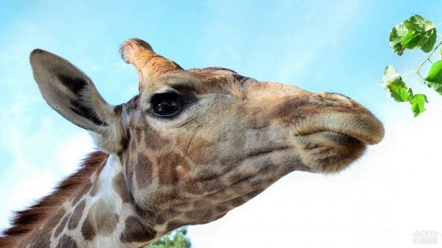 Жираф хочет поесть свежей листвы