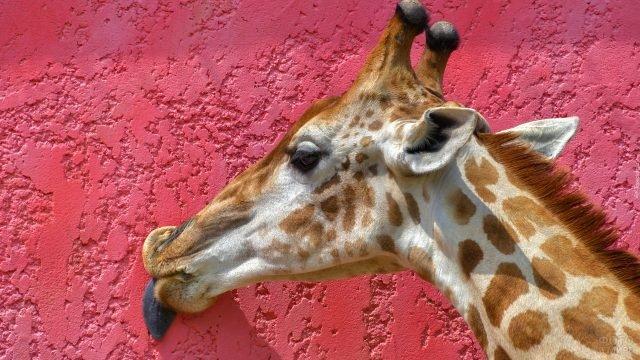 Жираф на фоне розовой стены