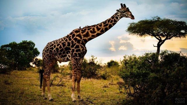 Жираф подошёл к деревьям