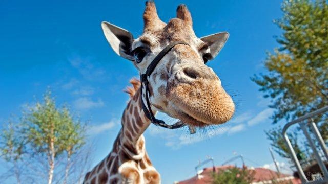 Жираф с чёрной уздечкой на морде