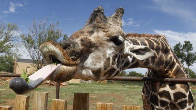 Жираф с длинным языком