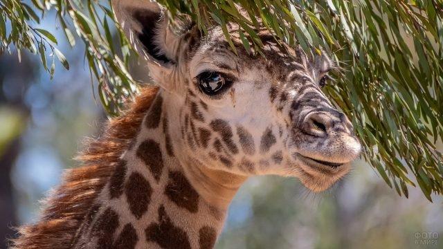 Жираф смотрит в кадр