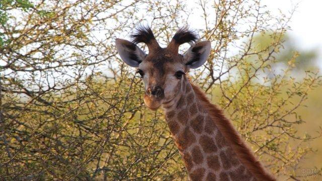 Жираф стоит на фоне кустарников