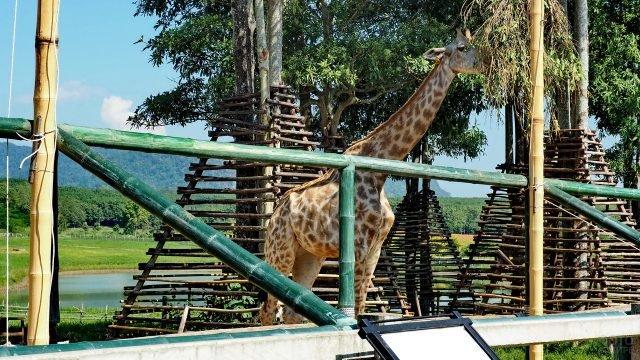 Жираф стоит за ограждением и ест траву