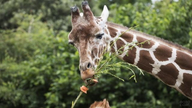 Жирафик лакомится морковкой