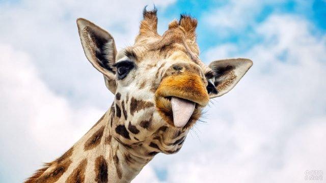 Жирафик показывает язык