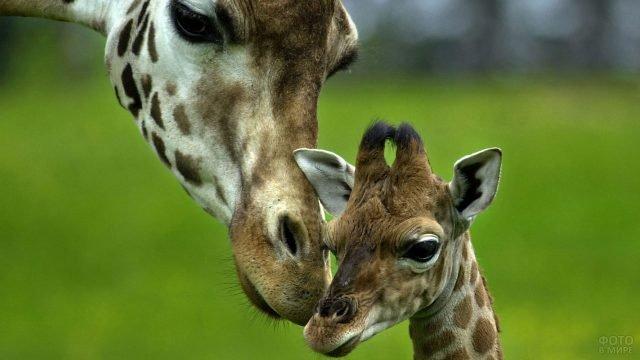 Жирафёнок со своей мамой