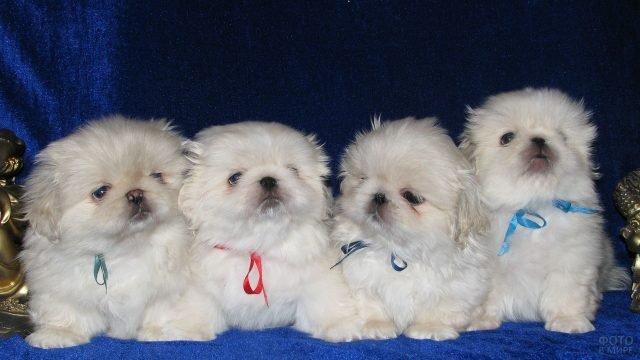 Белые щенки пекинесы на синем пледе позируют в студии