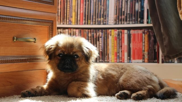 Пёс отдыхает на коврике