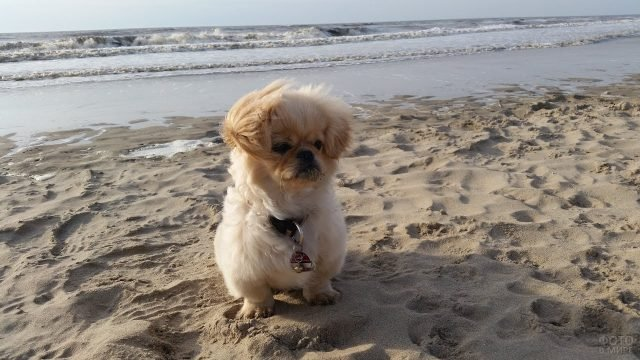 Собака пекинес на берегу моря