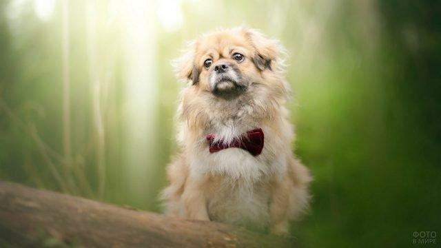 Собака с бабочкой на шее на природе