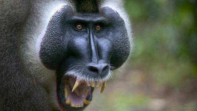 Агрессивная морда обезьяны
