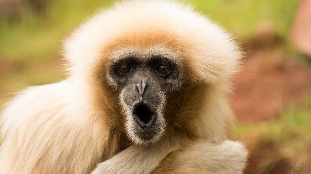 Белая обезьянка с открытым ртом