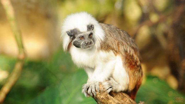 Бело-рыжая обезьянка сидит на краю бревна