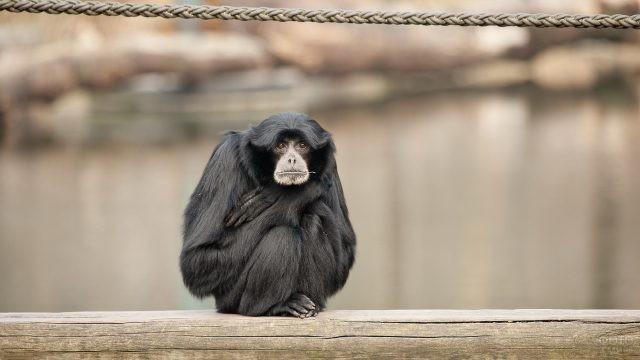 Чёрная обезьяна сидит на бревне