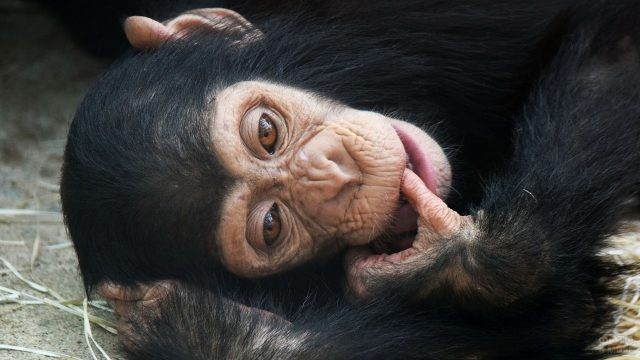 Чёрная обезьянка засунула пальчик в рот
