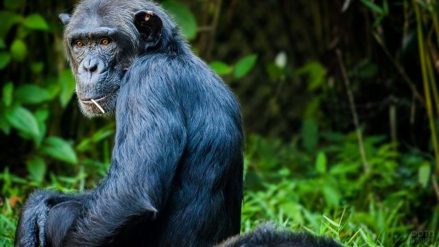 Чёрный шимпанзе жуёт травинку