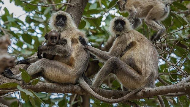 Индийские обезьнки сидят на ветках деревьев