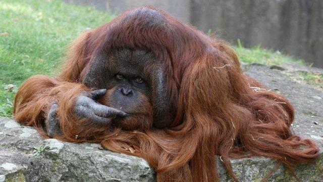 Коричневая обезьяна с длинной шерстью