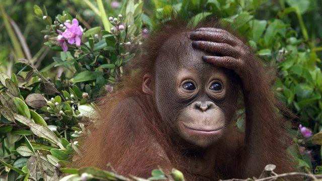Коричневый орангутан схватился за голову