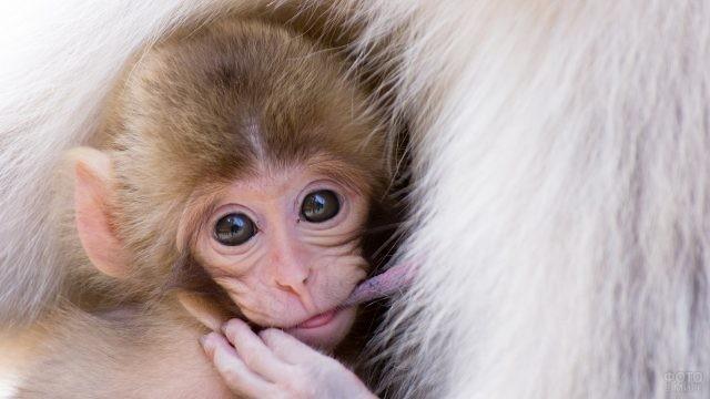Маленькая обезьянка питается маминым молоком