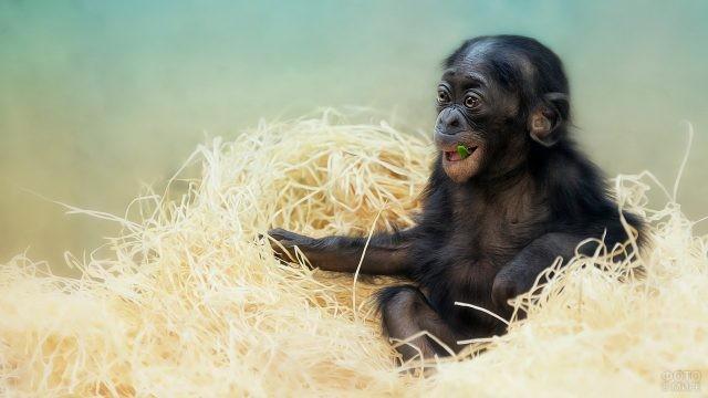 Маленькая обезьянка жуёт листочек
