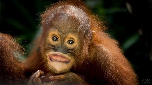 Малыш орангутан завернул губу