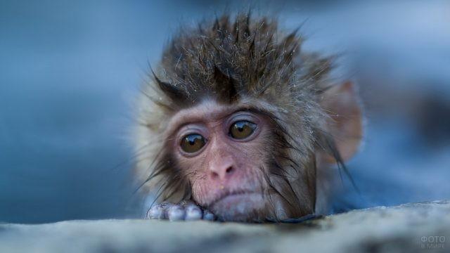 Мокрая обезьянка выглядывает из-за камня