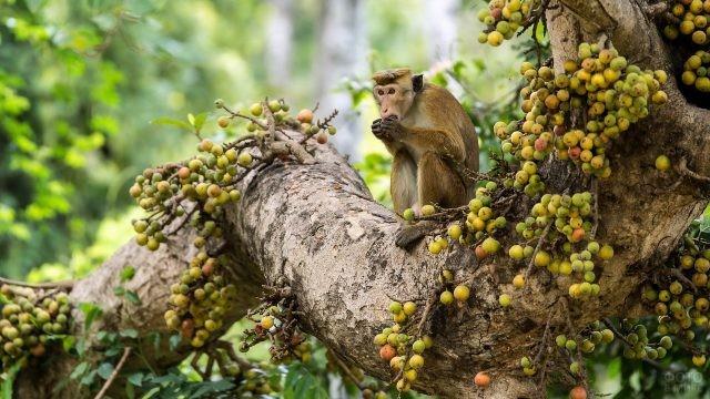 Обезьянка сидит на дереве усыпанном фруктами
