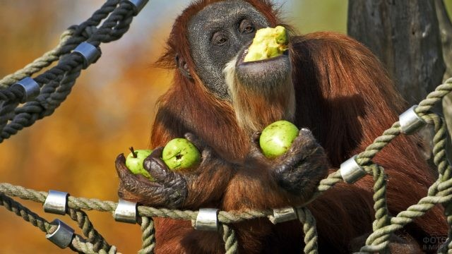 Орангутан лакомится яблоками