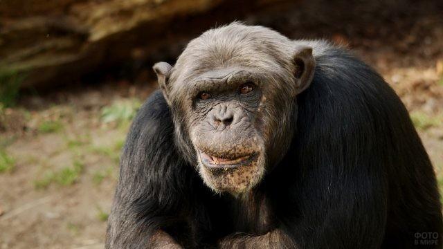 Пожилой шимпанзе крупным планом